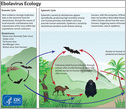 the ebola virus ecology