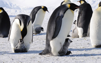 Photo of emperor penguins with their young.