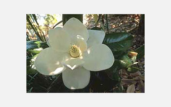 Photo of a magnolia blossom.