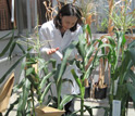 Photo of a scientist and corn in a lab.