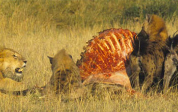 Hyenas and lion feeding on carcass in Masai Mara National Reserve, Kenya