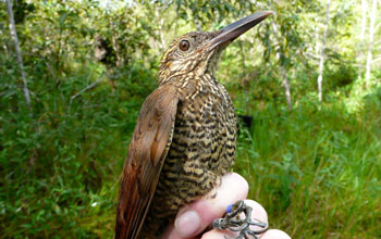 Photo of a hand holding a Black-banded Woodcreeper by its feet.