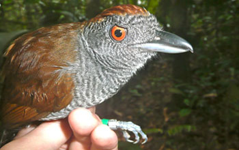 Photo of a hand holding a Black-throated Antshrike by its feet.