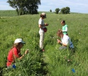Scientists applying paint to Echinacea flowers in the field