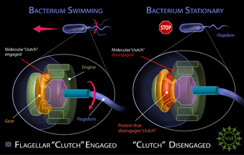Illustration of the mechanism that stops the flagellum of a bacteria.
