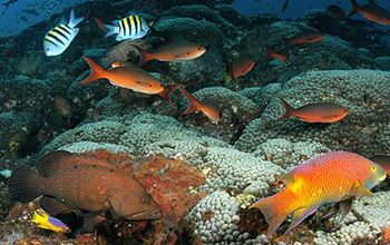coral reefs of the Flower Garden Banks National Marine Sanctuary