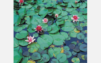 Photo of water lilies in flower.