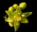Photo of an avocado flower.