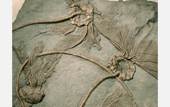 Fossils of crinoids, commonly known as sea lilies, from Ontario, Canada.