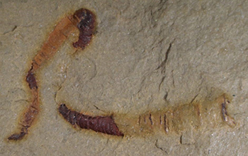 a fossilized cloudinomorph