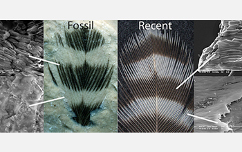Striped fossil feather and recent woodpecker feather show melanosomes in dark, but not light, areas.