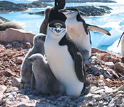 Chinstrap penguins on rocky shore