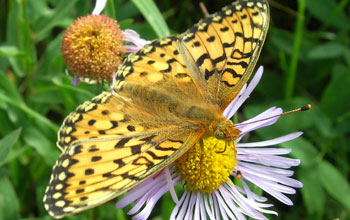 Photo of a Mormon Fritillary butterfly feeding on an aspen fleabane daisy.