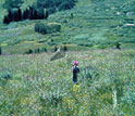 Photo of a researcher catching Mormon Fritillary butterflies in the Rocky Mountains of Colorado.