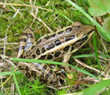 Photo of a pickerel frog.
