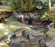 Research to understand tailed frogs responses to changes in their climate involves creek snorkeling.