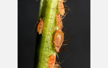 Photo of a pink clone of A. pisum (pea aphid), with different stages, growing on fava bean.