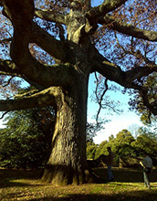 Photo of two men inspecting an ancient oak in a cemetery in London