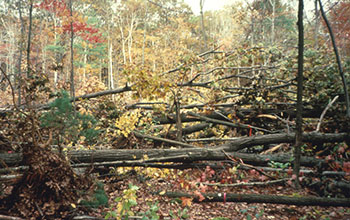 Photo of NSF's Harvard Forest site with trees down.