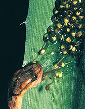snake attacking frog eggs