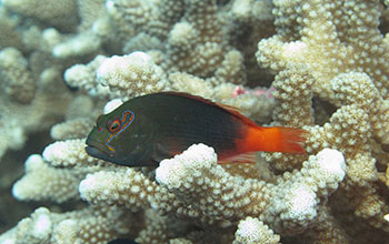 Arc-eye hawkfish on a reef