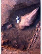 Photo of a horse head and neck sacrifice in a pit outside an ancient house in northern Kazakhstan.