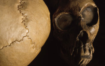 Images of the top and front of hominin skulls.