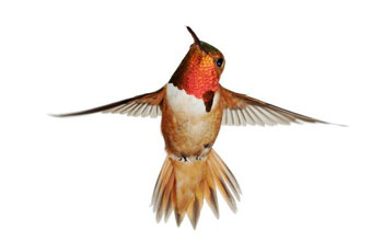 Image of a male Allen's Hummingbird.