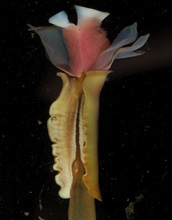 Image of Lamellibrachia barhami, a tubeworm that lives at hydrothermal vents and methane seeps.
