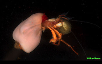 Image of a crab that uses an anemone as a shell.