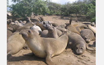 Photo of juvenile northern elephant seals on the beach at Ano Nuevo.