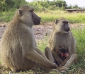 Adult female baboon with a one-day-old infant, sitting with an adult male baboon.