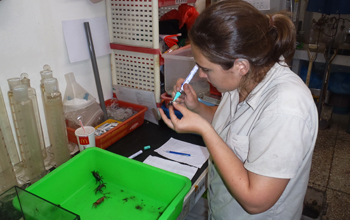 Photo of Virginia Schutte putting codes on the shells of live crabs using paint markers.