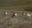 A group of pregnant American pronghorn females on the National Bison Range.