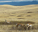 An American pronghorn male defending a harem of two females.