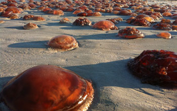 "Jellyfish known as ""sea tomatoes"" on Cable Beach in western Australia"
