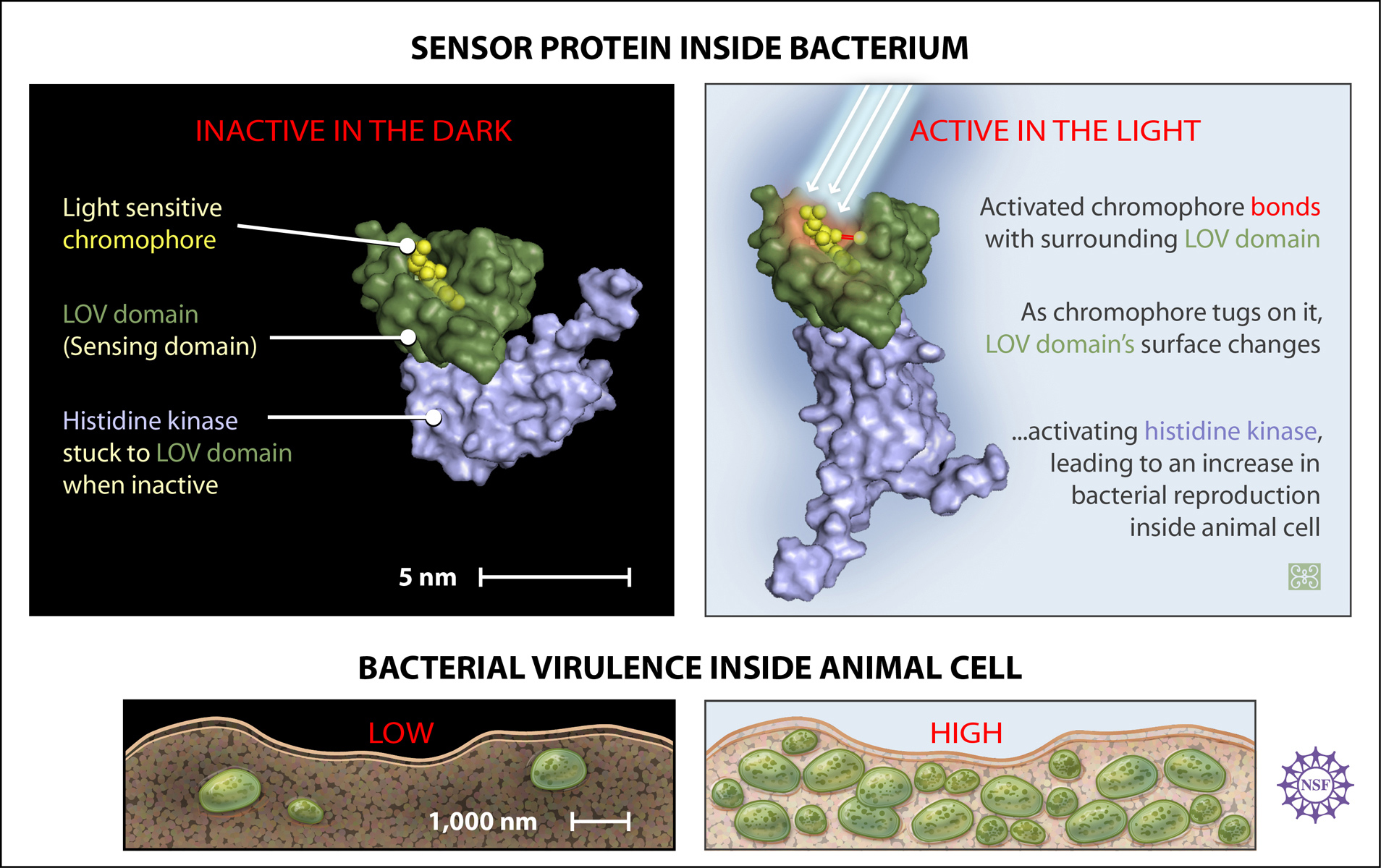 multimedia gallery proteins in bacteria located inside an animal