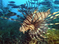 Photo of lionfish and other fish.