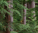Photo of an old-growth forest.