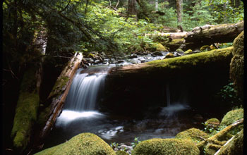 Image of a stream flowing through a forest in the H.J. Andrews LTER site.