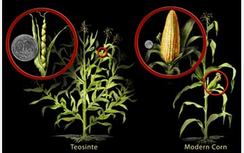 Illustration of the wild grass teosinte and modern corn.