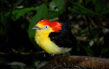 Photo of a male wire-tailed manakin displaying his striking plumage.