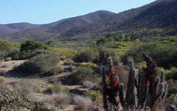 Photo of spiny shrubs in foreground, mountains in background, in Chile's Bosque de Fray Jorge Park.