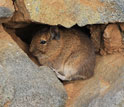 Photo of a degu, a mammal endemic to Chile.