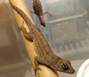 Brown anole lizard (Anolis sagrei) perched on bamboo.