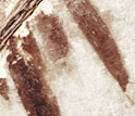 tips of Microraptor's well-preserved leg feathers, from beneath its tail.