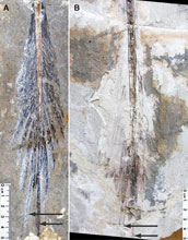 Image showing tail feathering in Microraptor specimens.