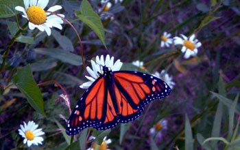 Photo of monarch butterfly and flowers