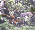 Video of highland mangabey in its native habitat