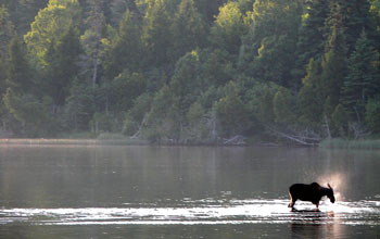 Photo of a moose in the water on the shoreline of Isle Royale.